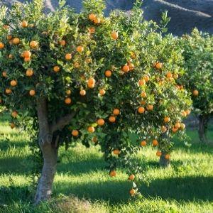 mallas de naranja arbol de la naranja