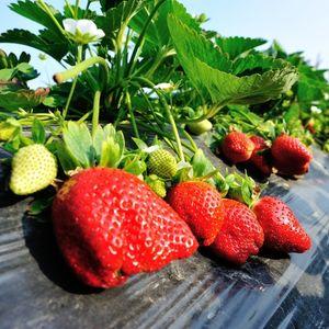 huerto de frutillas